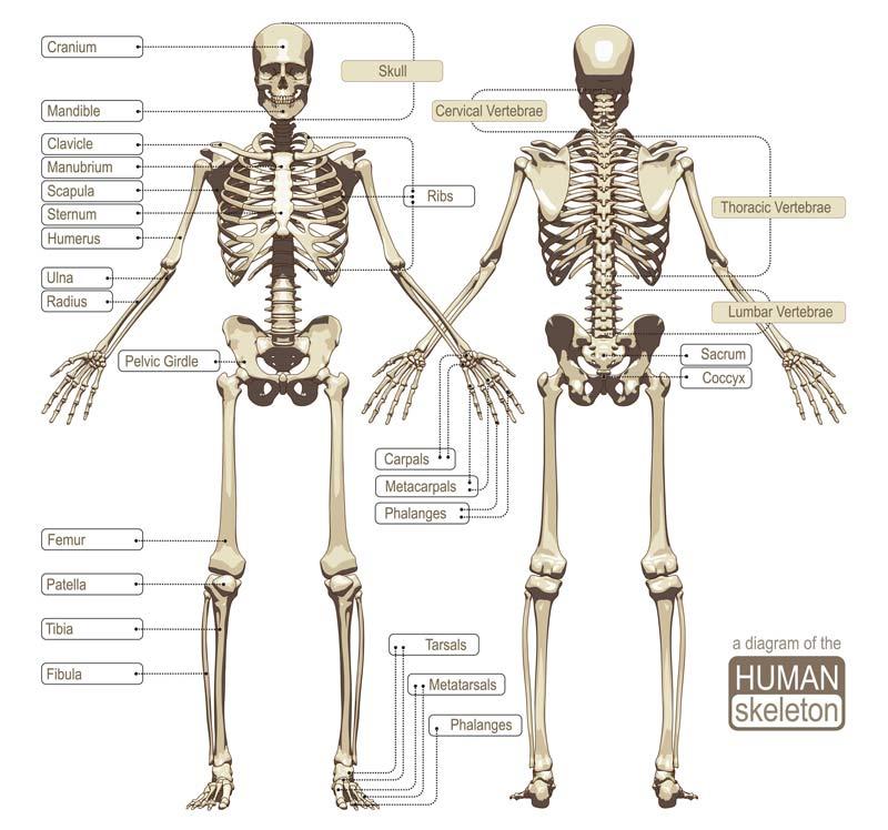 Nett Knochen Im Menschlichen Körper Bilder - Menschliche Anatomie ...