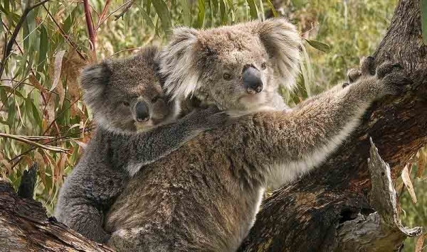 Koala Mutter mit Kind